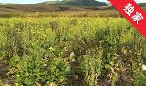 【视频】白菜窜苔开花  菜农遭受损失