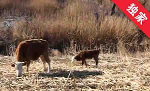 【视频】母牛莫名流产 养殖户怀疑疫苗有问题