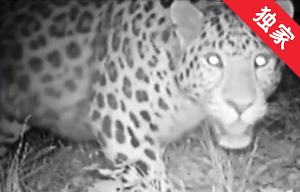 【视频】天桥岭林区辖区内首次拍摄到野生东北豹实体影像
