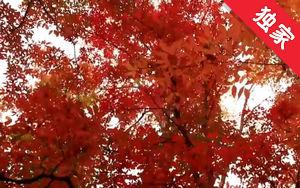 【视频】敦化威虎岭枫叶美景欣赏