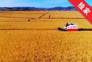 【視頻】金色的秋天 豐收的季節