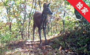 【视频】天桥岭林区首次拍摄到国家一级保护动物原麝