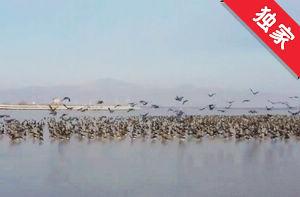【视频】敬信湿地 候鸟迁徙蔚为壮观