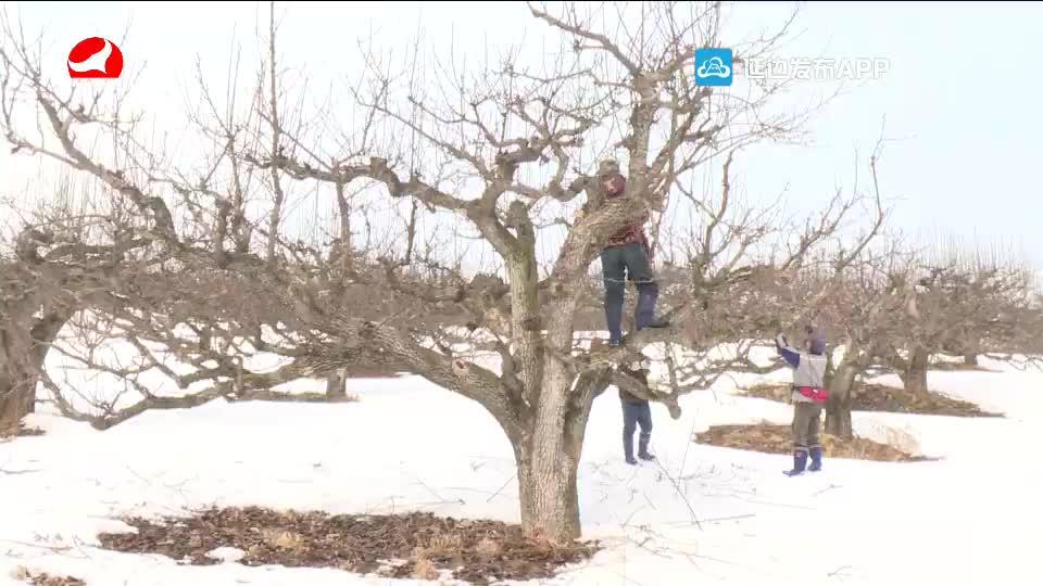 果树剪枝作业进行中 要注意防治病虫害