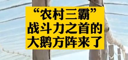 """【微视频】""""农村三霸""""战斗力之首的大鹅方阵来了"""