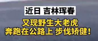 """【微视频】又现珲春大老虎""""炸街""""!步伐矫健,网友直呼:看得过瘾!"""