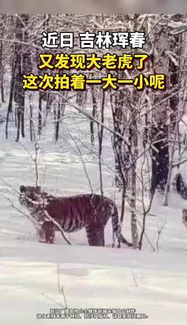 吉林珲春又发现大老虎了,这次拍着俩呢!霸气威武!