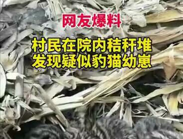 【網友爆料】吉林汪清村民在院內秸稈堆發現疑似豹貓幼崽,呆萌可愛~
