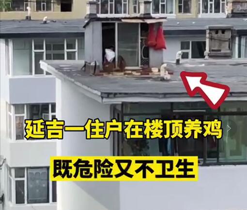 【網友爆料】延吉一住戶在樓頂養雞!太危險!