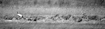 天暖候鸟飞回来了 珲春迎来30多只丹顶鹤
