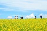 图们日光山油菜花开 景区面貌焕然一新