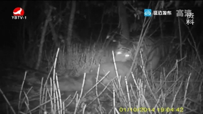 野生东北虎现身吉林黄泥河国家级自然保护区