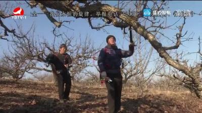 果树修剪有助于提高苹果梨产量