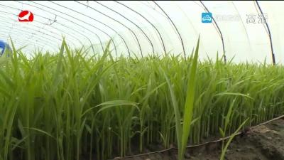 水稻温室育苗管理 要控制好温度和湿度