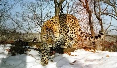 你猜,我州这里的东北虎、远东豹有多少只了吗?