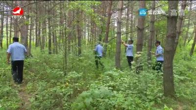 白河林业局加强美人松保护工作