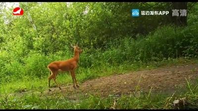 天桥岭林区首次拍摄到国家一级保护动物原麝实体影像