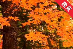 【视频】二道白河镇枫叶的魅力