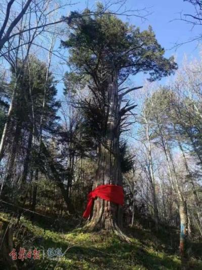 """延边州2万余株古树名木受保护,""""最老""""的已有3000岁"""