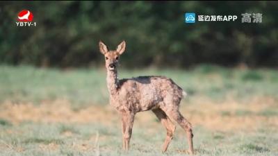 东北虎豹国家公园首次记录到珍惜物种-獐