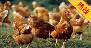 邻居养鸡影响小区环境,太烦心
