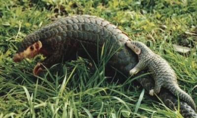 穿山甲由国家二级保护动物提升至一级