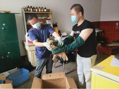 安图县林业局成功救助一只国家二级野生保护动物