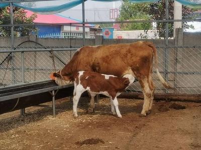 走向我们的小康生活丨牵着黄牛奔小康