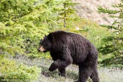 七旬老人山中遇黑熊被袭击,伤情严重,众人接力救援