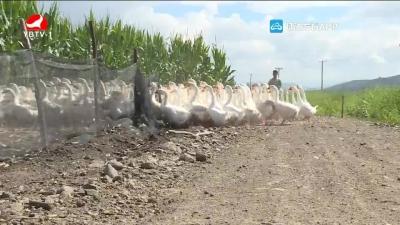 旱田养鹅:促进作物生长 创造经济效益