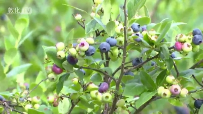 敦化:蓝莓丰收季 农户采摘忙