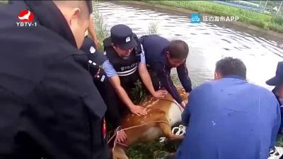 珲春:野生梅花鹿误入河沟 成功被救
