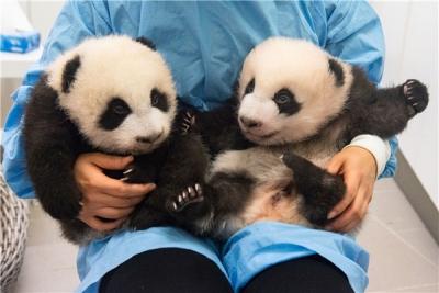 比利时龙凤胎大熊猫喜迎一周岁生日