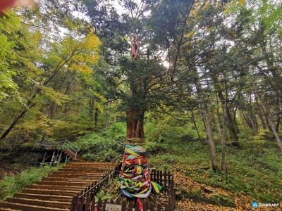 【图文新闻】超一千岁!来看千年红豆杉长什么样