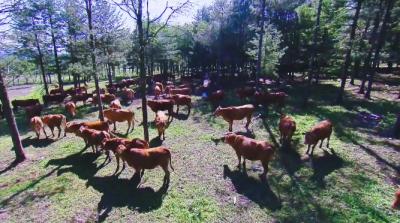 【视频】美丽中国·鲜到延边!好山好水育好牛!
