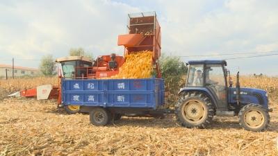 【视频新闻】全州玉米机械化秋收有序进行