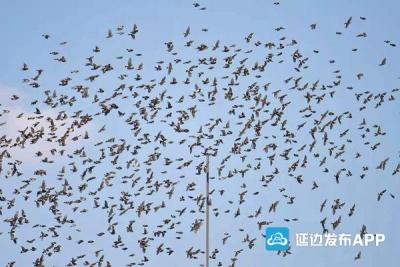 """数万只燕雀""""聚会""""天桥岭林区 场面壮观"""