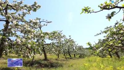 【视频新闻】首届珲春·孟岭苹果花嘉年华正式开启