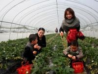 아하조선족향 황전촌 남새, 딸기 채집 체험으로 농민들의 수입 증가