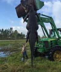 소 잡아먹은 거대 악어,길이가 무려 4.5m