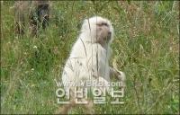 """희귀한 """"흰색 개코원숭이"""" 포착"""
