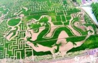 상공서 바라본 '논밭 아트', 두 마리의 룡 그림