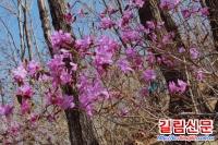 《5.1》전후 매하구지역 진달래꽃관광붐 화끈
