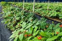 안도현 인삼, 비림지 밭에서 재배해 고수익