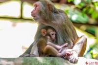 세계 유일의 붉은털원숭이 보호구역, 해남 남만후섬