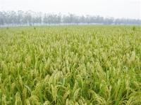 화룡시 투도진 명성촌 셀렌벼재배로 농민수입 향상