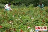 나무딸기재배와 계렬제품들 인기 모은다