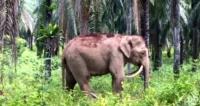 상아 거꾸로 자라는 희귀 코끼리 발견
