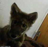 무료분양 받아 기른 강아지,알고보니 늑대