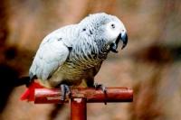 불륜 폭로한 앵무새, 위기에 처한 남성